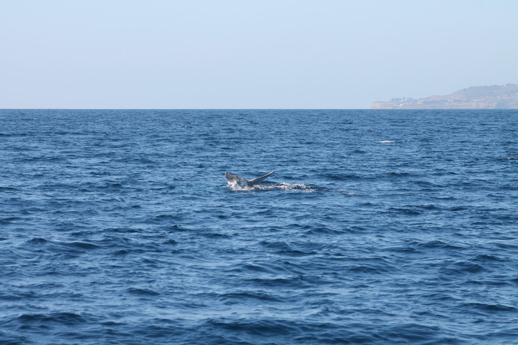 A whale giving us a wave with his fluke!