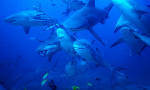 Bull sharks in Pacific Harbour, Fiji.