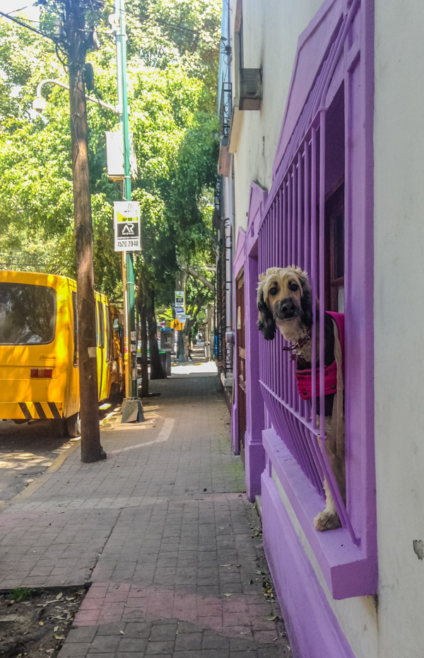 A friend I made while walking down the street in Condesa.