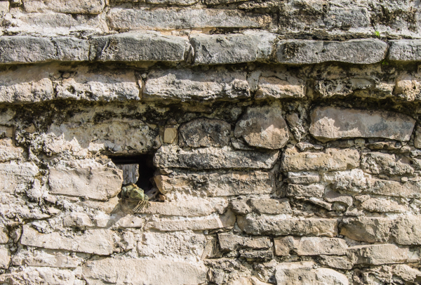 An iguana peeks out of a hole in the Tulum ruins.