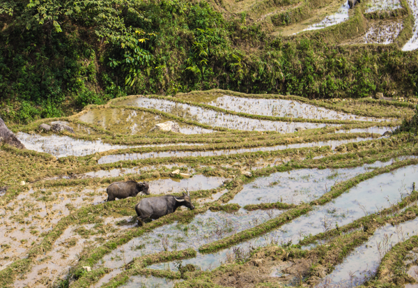 Water buffalos in the rice terraces. How do they get there? I have no idea.