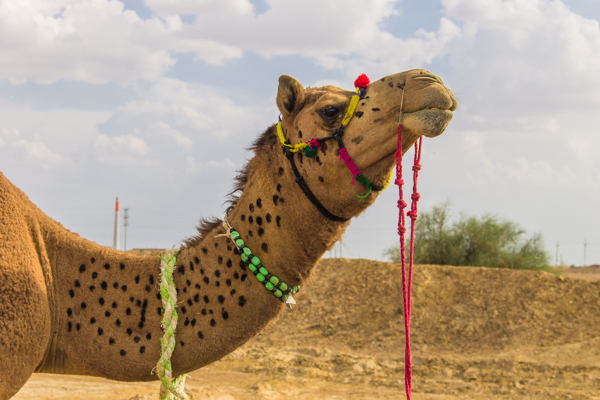 This was my camel, Michael Jackson.